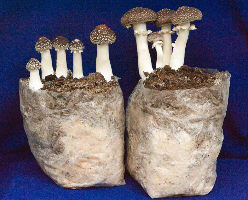 King Stropharia Mushroom Patch
