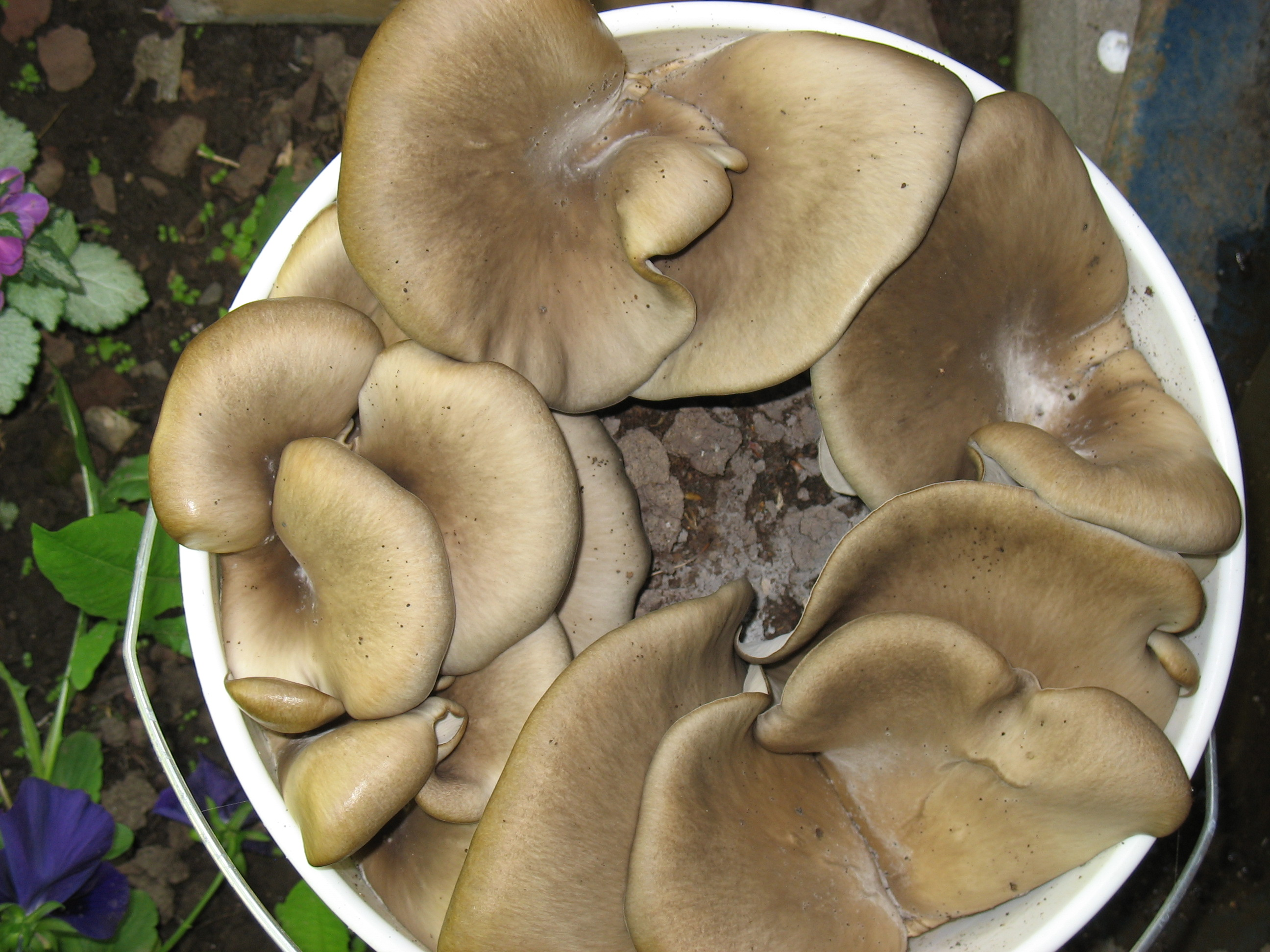 oyster mushrooms coffee grounds