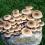 Pioppino Mushroom Patch